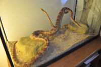 Corn snake for sale only 60$