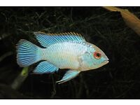 Tropical Fish (Electric blue Acara)