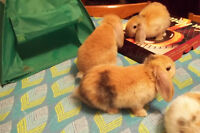 lop earred bunnies for sale