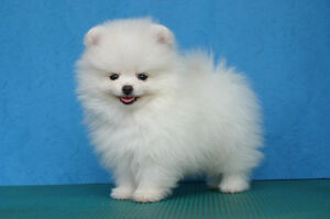 Looking for White Male Pomeranian