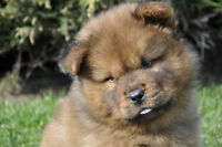 Chiots Chow-Chow Roux