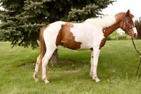14h 3 year old Canadian Sport Horse large pony