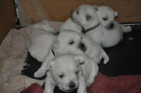 FOR SALE WEST HIGHLAND WHITE TERRIER PUPS