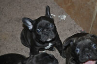 French Bulldog Puppies!! CKC REGISTERED