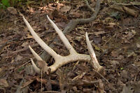 Looking for antler pieces for the dog to chew