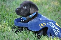 Puppy Raiser Wanted - Volunteer needed COPE Service Dogs