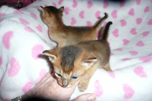 ABYSSINIAN FEMALE