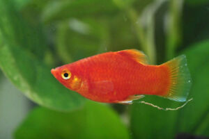 Guppies and Swordtails for Sale
