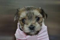 Male Micro Teacup Morkie Puppy Available Yorkie X Maltese