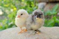 Atelier chez Simple Nature: Les poules... comme dans l'temps