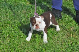 $2000.00 Chocolate tri trindle olde English bulldogge female