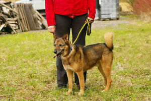 Ray - German Shep mix for adoption