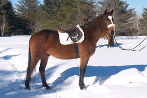 Judge 16.0 horse for sale