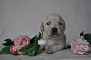 Gorgeous  Yellow Lab Puppies