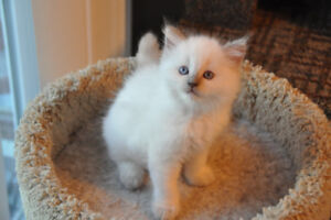 ADORABLE FLUFFY RAGDOLL - 2 KITTENS AVAILABLE!