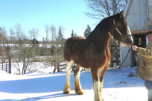 Registered Clyde mare