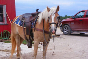 3 year old Haflinger Mare Broke to ride and drive