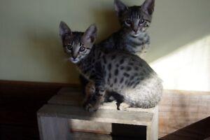 kitten savannah