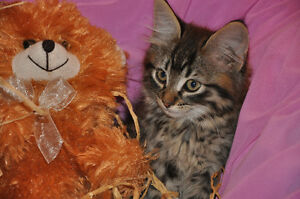 Maine Coon/Bengal X Kittens – SPOTS Galore!