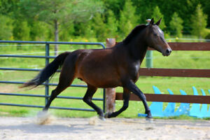 6 year old pregnant pony mare