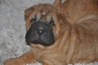 Beautiful chinese shar-pei puppies- Magnifiques chiots shar-pei