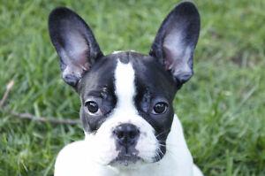 Purebred French Bulldogs for sale