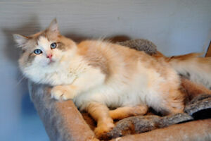 ADORABLE FLUFFY PUREBRED RAGDOLL KITTENS AVAILABLE