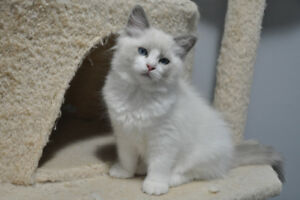 REDUCED - ADORABLE FLUFFY PUREBRED RAGDOLL KITTENS!