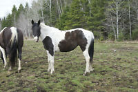 Reg. 6yr. old blk/white paint mare, 14'3hh