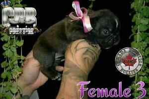 Shortybull bulldog francais french bulldog