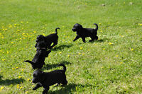 Black F1 Labradoodle puppies