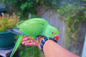 ❤♥☆♥Indian Ringneck ♥ Babies with Cage and Food ♥☆♥❤