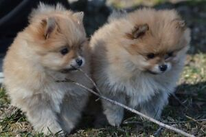 Pomeranian puppies negotiable price