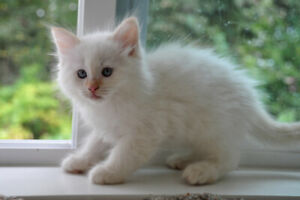 Very Cute and Fluffy 50% Ragdoll Kittens Available