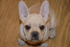 Purebred frenchie for sale