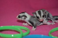 Ring Tail Mosaic Sugar Glider Joeys