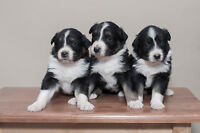 Australian Shepherd pup       TWO MALES LEFT