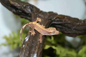 gecko a crete a echanger  faite vos offre