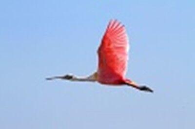 rubyspoonbill