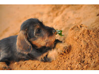miniature wire hair dachshund pups for rehoming