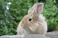 Lionsmane rabbit needs a new home