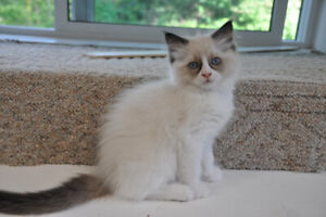 FLUFFY AND ADORABLE RAGDOLL KITTENS AVAILABLE