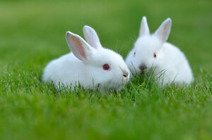 Trade:  2 rabbits for 2 drake Indian Runners