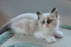 ADORABLE FLUFFY RAGDOLL KITTENS AVAILABLE