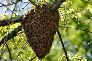 Alberta Wide Bee Swarm Removal - We pay you for bees!