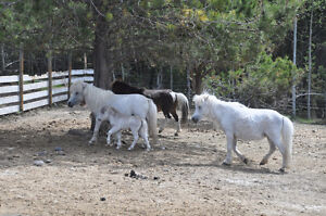 A pair and a spare of registered mini horses & carriage