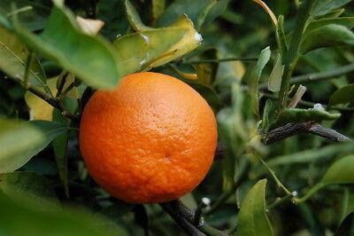 Tangerine Essential Oil 100% Pure&Natural Citrus reticulata Undiluted.5-10% off ()