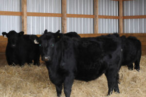 package of four black bred heifers
