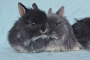 Bébés lapins Jersey Wooly mâles 2 mois
