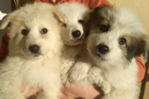 Pyrenees / Border Collie puppies  *** UPDATED***